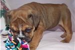 Picture of Petunia - Fawn Sable Female English Bulldog Puppy