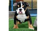 Picture of Coconut - Black Tri Male English Bulldog Puppy