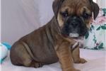 Picture of Azalea - Fawn Sable Female English Bulldog Puppy
