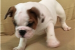 Picture of Sidney - Piebald Male English Bulldog Puppy