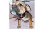 Picture of Rose - Fawn Sable Female English Bulldog Puppy