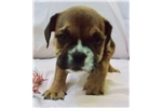 Picture of Tulip - Fawn Sable Female English Bulldog puppy