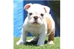 Picture of Loggerhead - Piebald Male English Bulldog Puppy