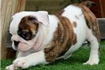 Picture of Peaches - Brindle Female English Bulldog Puppy