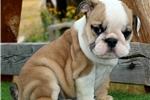 Picture of Kiwi - Fawn Female English Bulldog Puppy