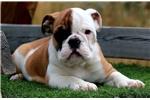 Picture of John Dillinger - Blk Tri Male English Bulldog Pup