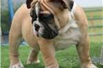 Picture of Pluto - Fawn Male English Bulldog Puppy