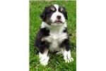 Picture of Rocky - Mini Aussie Shepherd