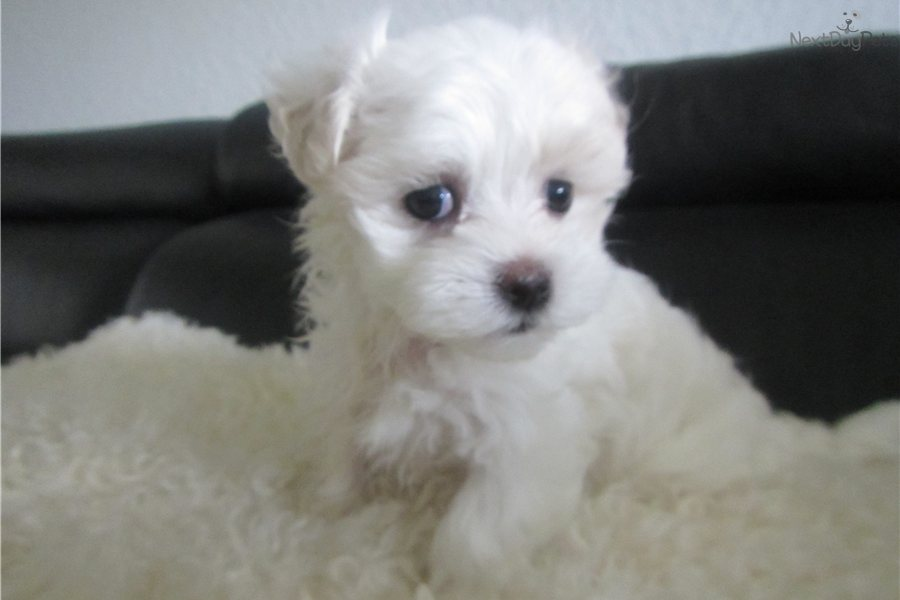 The gallery for --> Black Teacup Maltese Puppies Black Teacup Maltese Puppies