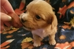 Picture of Marilyn  Silky Softwire female tiny