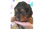 Picture of Silky Softwire hair female AKC tiny