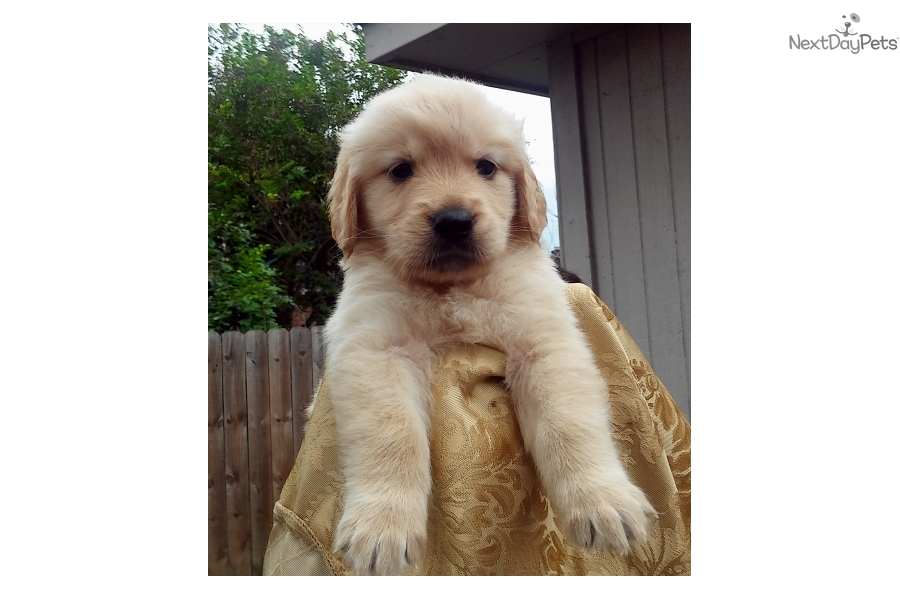 Golden retriever puppies near houston texas