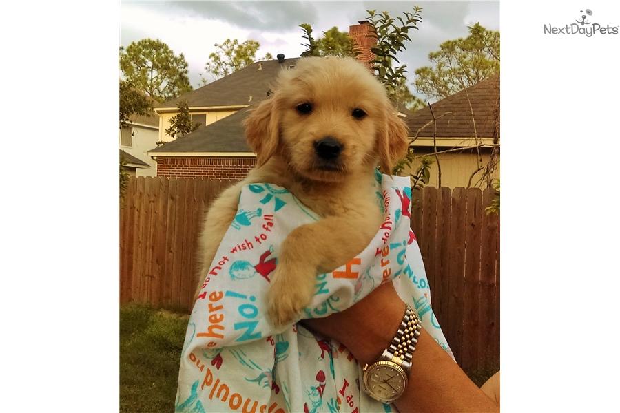 Golden retriever puppies in houston tx