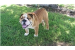 Picture of Abner AKC Gorgeous Male