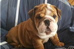 Picture of Abner AKC Gorgeous Male (Price Reduction)