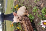 Picture of Avery AKC