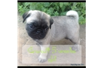 Picture of AKC Registered Pug Puppy- Fawn