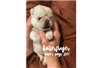 Picture of White Pug Puppy, Male