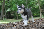 * 75% MALE TIMBERWOLF HYBRID - $1200 * | Puppy at 12 weeks of age for sale