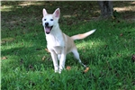 * 70% FEMALE TIMBERWOLF HYBRID - $600 * | Puppy at 14 weeks of age for sale