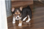 TEENY Augie Anna | Puppy at 6 weeks of age for sale