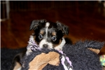 Picture of Nels~Toy Aussie