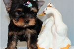 Picture of Toy Yorkie Puppy Boy (Inno)