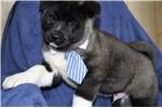 Picture of Beautiful akc Akita puppy