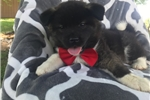 Picture of Beautiful AKC Champion Blood lines Akita Puppy
