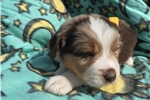 Picture of Stuning Australian puppy