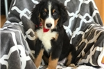 Picture of Gage (AKC)