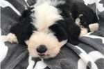 Picture of Mini Bernadoodle (Franky)