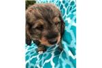 Picture of Mini Bernadoodle (Teddy)