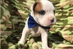 Picture of Adorable AKC Registered Champion Bloodline Boxer