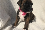 Picture of Adorable AKC Champion Bloodline Boxer Puppy