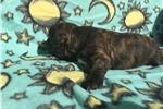 Picture of Mini Boxer puppy