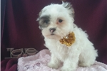 Picture of Adorable cavachon puppy
