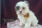 Picture of Adorable cavachon puppy
