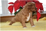 Picture of Adorable cavapoo puppy