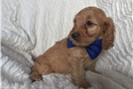 Picture of Adorable Cockapoo puppy
