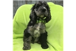 Picture of Adorable ACA Registered Cocker Spaniel Blue Merle