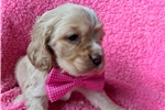 Picture of Adorable ACA Registered Cocker Spaniel