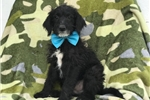 Neo (F1 Mini Damladoodle) | Puppy at 13 weeks of age for sale