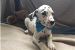 Picture of Adorable akc registered Dalmatian puppy