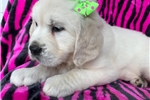 Picture of English Cream (Layla)