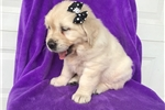 Picture of English Cream (Keira)