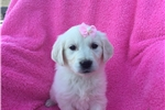 Picture of Beautiful English Cream puppy