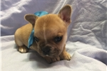 Picture of Adorable aca French Bulldog puppy