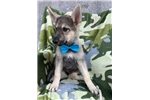 Picture of AKC Champion Sired German Shepard (Ruger