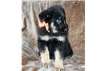 Picture of Beautiful AKC German Shepard Puppy